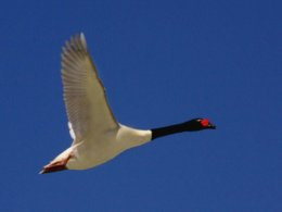 Falklands_Goose_Flying.jpg