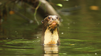giant-otter-amazon-rainforest-napo-wildlife-center-ecolodge.png