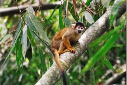 Tambopata_Research_Centre_Squirrel_Monkey.jpg