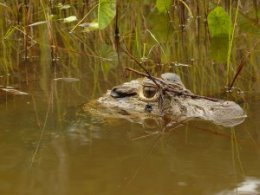 Refugio_Amazonas_Croc_head_in_water.jpg