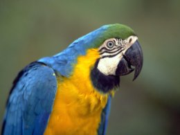 Amazon_Blue_and_Yellow_Parrot.JPG