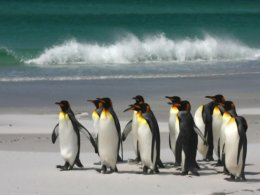Falklands_More_Penguins.jpg