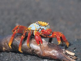 Galapagos_Lightfoot_Crab.jpg