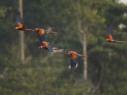 Tambopata_Research_Centre_flying_parrot_II.jpg
