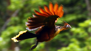 hoatzin-amazon-rainforest-napo-wildlife-center-ecolodge.png